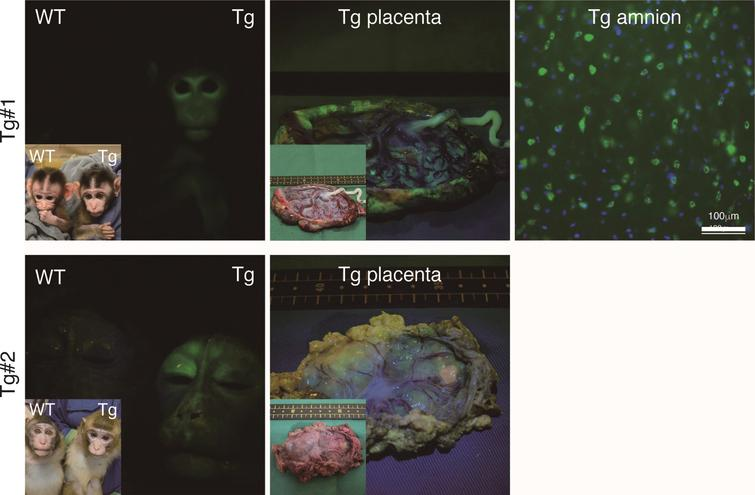 Fluorescence images of the Tg cynomolgus monkeys. Upper panels showing fluorescence images of the face, placenta and amnion of APP-GFP Tg offspring #1. Lower panels showing fluorescence images of the face and placenta of APP-GFP offspring #2. Insets in each panel show brightfield images.