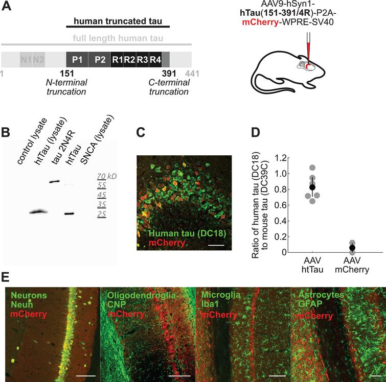 AAV-hSyn-htTau induces neuron-specific expression of human truncated tau and mCherry. A) Adeno-associated viruses (serotype 9) were prepared using plasmids containing truncated human tau sequence (151–391/4R) linked using a P2A self-cleaving peptide to mCherry red fluorescent protein, under the control of human synapsin promotor 1 (hSyn1). AAV9-hSyn1-hTau(151–391/4R)-P2A-mCherry-WPRE-SV40 (AAV-hSyn-htTau) vectors were stereotaxically injected into hippocampal formation of adult wild-type mice. AAV9-hSyn1-mCherry-WPRE-SV40 (AAV-hSyn-mCherry) was used as negative control. B) AAV293 cell lysate did not express human truncated tau in the absence of transfection (lane 1). Transfection with the AAV-hSyn-htTau plasmid (lane 2) resulted in expression of tau with a lower molecular weight compared to the longest isoform of human tau (lane 3) and the same molecular weight as tau(151–391/4R) synthetic peptide (lane 4). No tau was detected in negative control cells transfected with a plasmid for full-length alpha-synuclein. Tau was detected with pan-tau (aa347–353) antibody DC25. C) Neurons transduced with AAV-hSyn-htTau (red, mCherry) expressed human truncated tau protein (green, detected using human tau(aa168–181)-specific antibody DC18). Scale bar shows 50μm. D) AAV-hSyn-htTau transduction induced expression of human truncated tau at levels comparable to the expression levels of endogenous mouse tau protein. Human tau was detected with human tau-specific antibody DC18, and mouse tau was detected with pan-tau (aa434–441) antibody DC39C that does not recognize truncated tau aa151–391/4R. Gray circles show expression ratios in individual mice (AAV-hSyn-htTau n=6, AAV-hSyn-mCherry n=2), black circles and error bars show means and bootstrap 95% confidence intervals (CI) of means (AAV-hSyn-mCherry mean=0.06, CI=0–0.08; AAV-hSyn-htTau mean=0.82, CI=0.71–0.96). E) Expression of human truncated tau protein was neuron-specific. Expression of mCherry (red) co-localized with neuronal mar