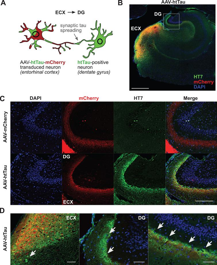 Propagation of human truncated tau from entorhinal cortex (ECX) to dentate gyrus (DG). A) Schematic representation of spreading of human truncated tau in AAV-hSyn-htTau model. Truncated tau spreads from AAV-hSyn-htTau transduced neuron (for example, in ECX) into neurons in connected areas (for example, DG). B) Overview of a horizontal section (40μm thick) of a mouse hippocampal area at three months after injection of AAV-hSyn-htTau; green: HT7 antibody detecting human tau, red: mCherry, blue: DAPI. Double positive signal from human tau (green) detected with HT7 antibody against human tau(aa159–163) and mCherry (red) was observed in ECX, whereas human tau-only signal was predominant in DG. Cell nuclei were counterstained with DAPI (blue). Scale bar shows 500μm. C) Higher magnification of panel B and comparison with control AAV-hSyn-mCherry. Neuronal fibers positive for mCherry (red) originating from ECX were observed after injection of AAV-hSyn-htTau and AAV-hSyn-mCherry. Strong human tau signal was observed in DG neurons contacted by mCherry-positive fibers only in AAV-hSyn-htTau infected animals, suggestive of propagation of human truncated tau. Scale bar shows 150μm. D) Examples (arrows) of neurons expressing human truncated tau (green) without the expression of mCherry (red), suggestive of inter-neuronal spreading of human truncated tau delivered via AAV-hSyn-htTau, locally in the entorhinal cortex (left) and in the DG (middle, right). Scale bars show 50μm.