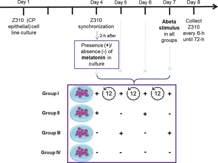 Schematic diagram summarizing in vitro experimental procedures. Z310 cells (CP epithelial cell line) were initially synchronized for 2 h. After, cells were pre-treated with either vehicle control or melatonin during 3 cycles of 12 h: group I – 12 h+/12 h+/12 h+/12 h+; group II – 12 h+/12 h–/12 h+/12 h–; group III – 12 h–/12 h+/12 h–/12 h+; and group IV – 12 h–/12 h–/12 h–/12 h–. At the end of the melatonin pre-treatment cycles (3 cycles of 12 h, total of 36 h) Aβ1–42 was added to the different groups (group I and III in the presence of melatonin; group II and IV in the absence of melatonin). Cells were harvested 6 h after Aβ1–42 incubation and then at 6 h intervals throughout the 72 h period of the experiments
