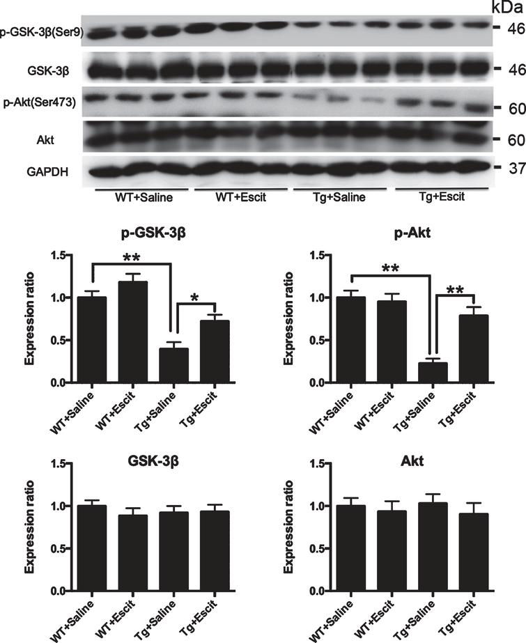 The effects of escitalopram treatment on Akt/GSK3β pathway in mice hippocampus< /b>. Western blotting and quantitative analysis for the levels of ser-9-phosphorylated GSK-3β, the Ser-473-phosphorylated Akt, total GSK-3β, and total Akt measured in mice hippocampus. GAPDH was used as a loading control in each sample. The results are expressed as the mean±SEM (n = 3); WT + saline: the wild-type mice administered with the saline vehicle; WT + Escit: the wild-type mice administered with escitalopram; Tg + Saline: pR5 AD mice administered with the saline vehicle; Tg + Escit: pR5 AD mice administered with escitalopram. *p < 0.05; **p < 0.01.