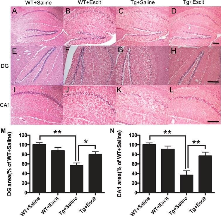The effects of escitalopram treatment on cell numbers in mice hippocampus detected by HE staining. A– D) Representative images of HE staining in the hippocampus of mice. Scale bars = 100μm. E– H) Representative images of HE staining in the hippocampal DG region of mice. Scale bars = 100μm. I– L) Representative images of HE staining in the hippocampal CA1 region of mice. Scale bars = 100μm. M-N) Quantification of the cellular area in hippocampal DG and CA1. Data were expressed as mean±SEM (n = 3 mice per group). WT + saline: the wild-type mice administered with the saline vehicle; WT + Escit: the wild-type mice administered with escitalopram; Tg + Saline: pR5 AD mice administered with the saline vehicle; Tg + Escit: pR5 AD mice administered with escitalopram. *p < 0.05; **p < 0.01.