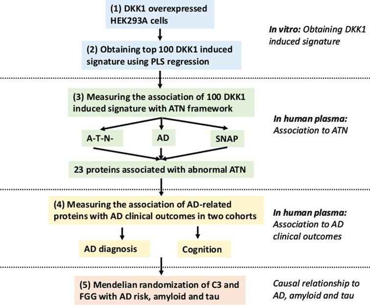 Flowchart of study design. 1) Measurement and quantification of 1,128 proteins in total cell lysates of HEK293A cells overexpressing DKK1; 2) The top 100 proteins that constitute the DKK1-induced signature were identified using partial least squares (PLS) regression; 3) Measuring the association of 100 DKK1-induced proteins with ATN framework in vivo and obtaining 23 proteins that were significantly associated with any single ATN abnormal; 4) Measuring the association of AD related proteins with other AD clinical outcomes; 5) Mendelian randomization to explore the causal relationship between two proteins (complement component 3 [C3] and fibrinogen gamma chain [FGG]) and AD risk, amyloid and tau (both T-tau and P-tau) pathology. AD, Alzheimer's disease; SNAP, Suspected Non-Alzheimer Pathology; T-tau, total tau; P-tau, phosphorylated tau.