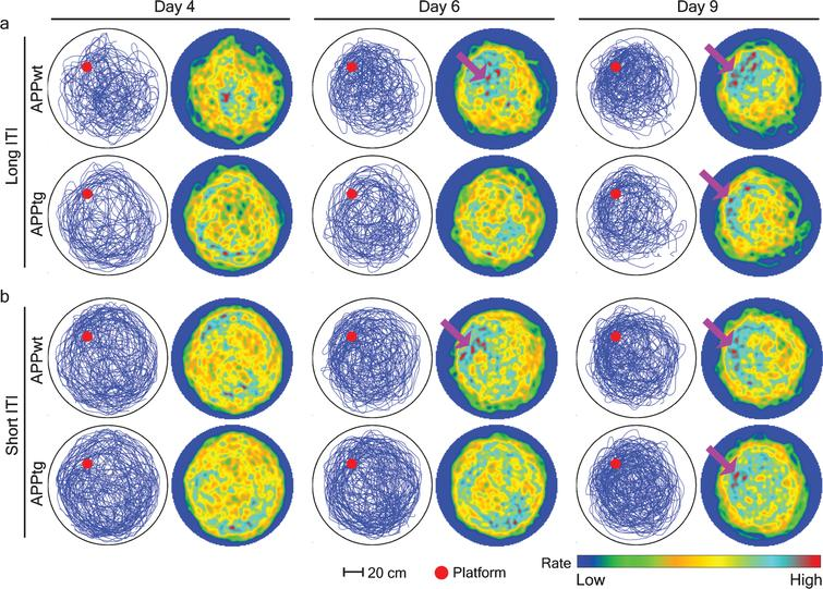 Spatial intensity estimation of different groups during probe trials in 3-month-old mice. A single probe trial was conducted before normal training trials on day 4, 6, and 9. Mouse trajectories from each group were combined to characterize the location of spatial hotspots. To this aim, the pixel coordinates were extracted from an image and later dropped inside the circular window of observation where Gaussian kernel smoothing was done to create a spatial hotspot. Each row is a group with long or short-ITI protocols. Left, accumulated mice trajectories per group (blue lines) with indicated platform position (red colored circle). Right, color-coded spatial rate map with peak rate (Scale bar). Purple arrows show the location of spatial hotspots.