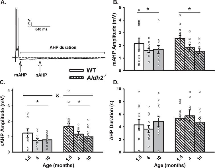 AHP in WT and Aldh2–/– Mice Across Age. A) Representative AHP following post-synaptic depolarization with 4 action potentials. B, C) A main effect of aging (p<0.02) on the mAHP and sAHP was observed within each genotype. A main effect of genotype was also present on the sAHP (p<0.04). D) Measures of the AHP duration were unaltered across aging or genotypes. We report data on 12 neurons (1.5 months), 11 neurons (4 months), and 11 neurons (10 months) in the WT dataset, and on 17 neurons (1.5 months), 9 neurons (4 months), and 13 neurons (10 months) in the Aldh2–/– dataset. Asterisks (*) represent significance across aging (above left and right bars) and genotype (top horizontal bar separated by an ampersand) at p<0.05.