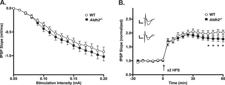 LTP Outcomes. A) I/O curves for fPSP slopes (mV/ms; mean±SEM) elicited in CA1 by single pulse stimulation of the SC in WT and Aldh2–/– mice. The fPSP slope increased with higher stimulation intensities, but no statistical differences between the two groups were detected (p>0.05). B) fPSP slope (mV/ms; mean±SEM; normalized to baseline) before and after HFS (arrow) in WT and Aldh2–/– mice. Delivery of HFS reliably increased the fPSP slope; however, no main effect of genotype was detected (p>0.05). Data reported here were taken from 15WT and 11 Aldh2–/– mice for LTP induction and 15 WT and 10 Aldh2–/– mice for I/O curves. Analysis of the maintenance phase of LTP (the last 20min) revealed a significant genotype effect with somewhat reduced potentiation in the Aldh2–/– animals (t=16.84, p<0.0001; unpaired t-test). Asterisks (*) represent significant group fPSP slope differences at specific time points (t-test) at p<0.05. Insets depict typical fPSP before (smaller downward deflection) and after (larger downward deflection) HFS in WT (top) and Aldh2–/– mice (bottom; calibration is 0.5mV and 5ms).