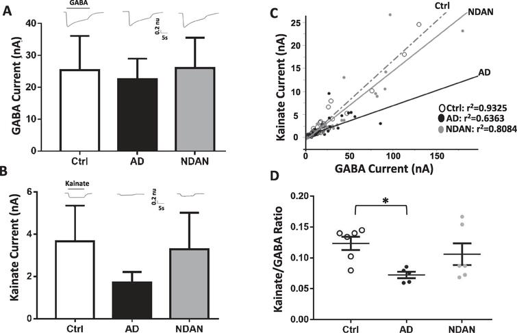 Differential activation of microtransplanted synaptic AMPA and GABA receptors from the frontal cortex of Ctrl, AD and NDAN subjects. A) GABA currents (elicited using 1 mM GABA), representing the inhibitory component, show no significant differences between Ctrl (clear bars), AD (black bar), or NDAN (grey bar). B) Similar to GABA, Kainate currents (elicited using 100 mM Kainate), representing the excitatory component, show no significant difference between the three groups. Representative ion currents for each group is provided above the bars and represented in normalized units (n.u.) to facilitate comparison of the amplitudes of GABA and kainate currents in the same scale. Kainate, instead of glutamate, was used to avoid AMPA receptors desensitization. C) Linear correlation between maximal kainate and GABA responses measured in single oocytes across groups. Each dot in this figure represents a single recorded oocyte. (r2 are shown next to each group; *p<0.0001). D) Average of the Kainate/GABA ratio in each subject shows reduced values in AD compared to control but not to NDAN. The current ratio was different across groups (with significant reduction between Ctrl and AD (*p=0.0388), but not between Ctrl and NDAN (p>0.99) or AD and NDAN (p=0.2268). Each dot represents a single subject. Color schematic for each group are provided in the legends for (C) and (D).