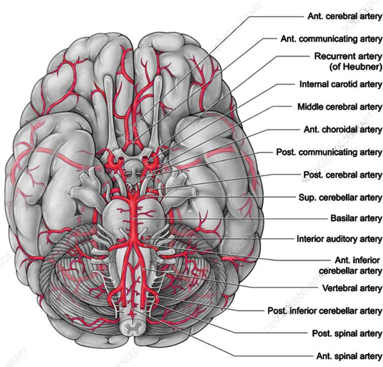 Major arteries feeding the brain. This is a 3D view of the bottom of the brain. A major part of the glymphatic path travels up the center of this figure. In this view, the spine and brainstem are projecting out and down from the center of the brain. The arterial circle of Willis, which is enclosed on two sides by the temporal lobes, is located in the center of this figure. It indicates how the temporal lobes enclose the basal cistern walls just above the basilar artery. The region of the brain surrounding the circle of Willis in this figure is the general region of the cortex that is the origin of the Aβ AD pathology. Source: Alamy.com.