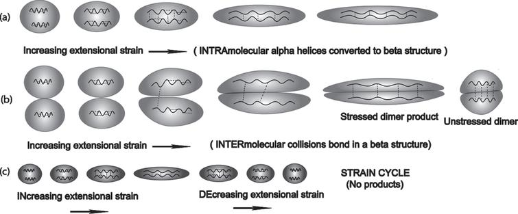Extensional flow-induced transformation from an alpha to beta conformation via intramolecular and intermolecular mechanisms: (a) Two nearby alpha helical segments within the same molecule are exposed to extensional flow to such a point where their protein backbones are exposed to each other resulting in an alpha to beta conformation change within a single molecule; (b) When the molecular concentration is high enough, a concentration dependent-bimolecular collision between extensional flow-stretched molecules can produce a dimer that is much more stable than the monomer; (c) However, if the strain-induced stretch is not sufficient to allow close proximity of each alpha helix in a single molecule, then there is a lack of intramolecular product formation, resulting in heat release.