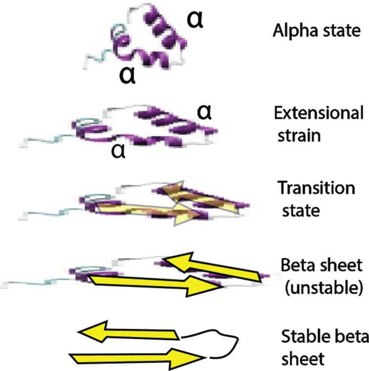 Proposed mechanism for the rapid strain-induced transformation of Aβ from an IDP alpha conformation to a beta hairpin conformation through extensional stretching distortion. This particular alpha state was selected from favored IDP states in [60]. This beta sheet structured molecule may then react quickly with another and possibly form a dimer seed. This aggregation reaction could take place over many stretch-and-release cycles.