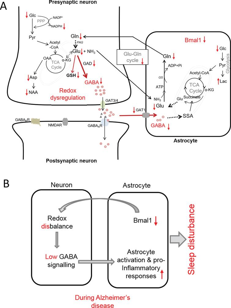 Proposed model of interconnection between redox dysregulation, compromised GABA signaling, neuroinflammation and SCN dysfunction in AD as evidenced by observed changes in metabolic profile and immunohistology in the present study. A) Observed increases and decreases in metabolites in SCN of AD mice is shown by arrows (i.e., ↑ and ↓, respectively). B) Summarized view of the interconnection between reduced Bmal1, redox disbalance, dysregulation of GABA signaling and inflammation that may be at the root of circadian rhythm disruption leading to sleep disturbance in AD. αKG, α-ketoglutarate; Asp, aspartate; GABAA GABAB, GABA receptors; GAT1 and GAT3/4, specific GABA transporter; GAD, glutamic acid decarboxylase; Glc, glucose; Gln, glutamine; Glu, glutamate; GS, glutamine synthetase; GSH, glutathione; Lac, lactate; NAA, N-acetyl aspartate; NMDAR, N-methyl-D-aspartate receptor (Glu receptor): OA, oxaloacetic acid; PPP, pentose phosphate pathway; SSA, succinate semialdehyde; TCA cycle, tricarboxylic acid cycle.