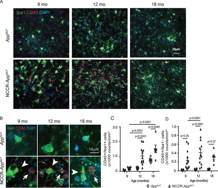 Neuronal cell cycle re-entry increases neuroinflammation in AppNLF mice. A) Representative fluorescently labeled cortical images (primary somatosensory region) showing Iba1 (green), CD45 (red), and DAPI (blue) showing increased CD45 labeling in the NCCR-AppNLF animals at 9, 12, and 18 months of age. B) Higher magnification images of CD45 (red), Iba1 (green), and DAPI (blue) immunofluorescent labeled brain sections from NCCR-AppNLF and AppNLF animals. Leukocytes were identified by donut-shaped CD45 stains not co-localized with Iba1 labeling in the cortex (arrows). Activated microglia were identified by Iba1 stained cells co-labeled with CD45 (arrowheads). C) Two-way ANOVA showed significant age effect (F(2, 53)=35.74, p<0.0001), genotype effect (F(1, 53)=38.11, p<0.0001), and interaction effect (F(2, 53)=7.052, p<0.0019) on CD45-positive microglia counts. Number of CD45/Iba1 co-labeled cells were increased in NCCR-AppNLF mice compared to AppNLF mice at 12 and 18 months of age, suggesting enhanced neuroinflammation (Tukey's multiple comparison test). D) Two-way ANOVA showed significant genotype effect (F(1, 53)=39.34, p<0.0001) on CD45-postive, Iba1-negative cells. Brain leukocyte infiltration is observed in 9-, 12-, and 18-month-old NCCR-AppNLF animals (Tukey's multiple comparison test). The following numbers of animals were examined: 9 months: n=4/genotype; 12 months: n=4/genotype; 18 months: n=2/genotype. Four matched coronal sections were measured across the animals. Each data point represents a measure from each section.