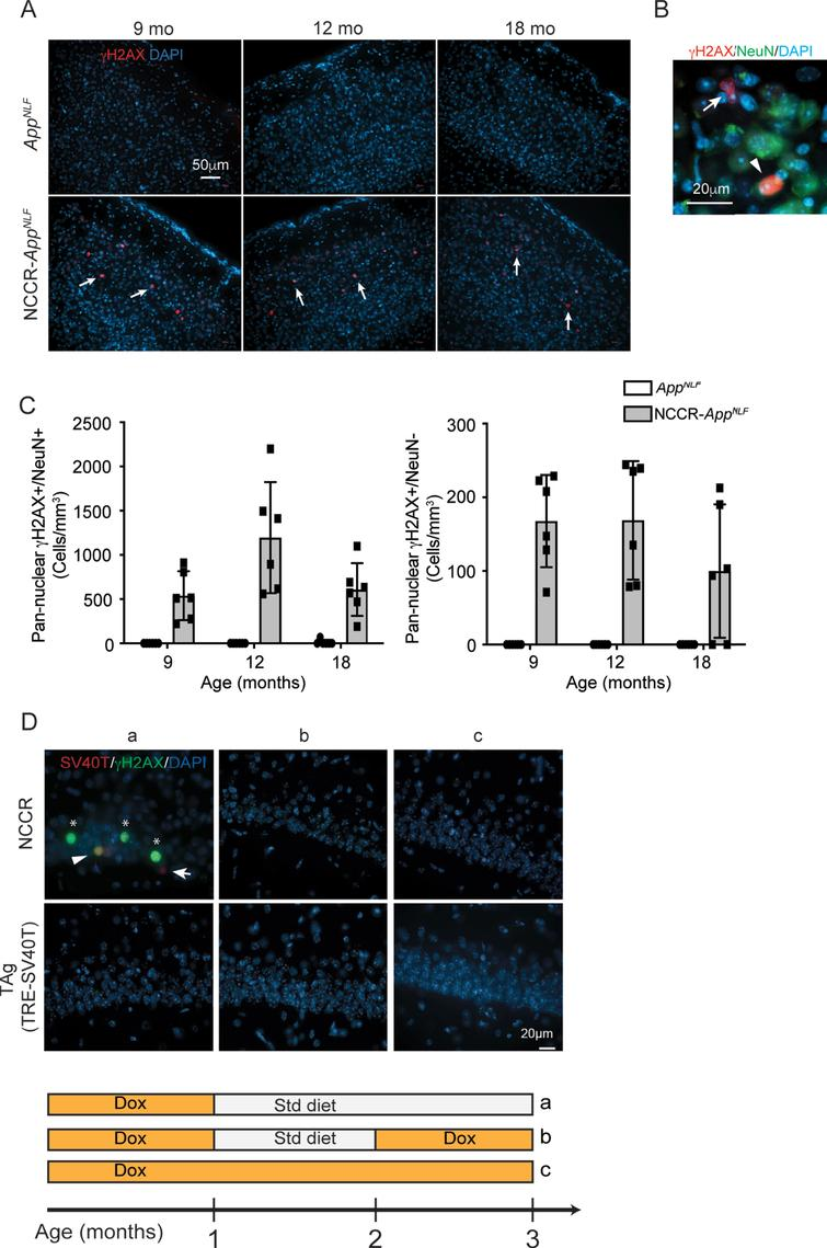 """Pan-nuclear γH2AX signal is selectively observed in NCCR-AppNLF animals. A) immunofluorescence staining for γH2AX, a marker for DNA damage response, in cortex shows pan-nuclear labeling that is restricted to NCCR-AppNLF animals at 9, 12, and 18 months of age (arrows, primary somatosensory areas shown). B) Magnified image showing γH2AX labeled NeuN+and NeuN- cells (arrowhead and arrow, respectively). C) Quantification of pan-nuclear γH2AX labeling shows that pan-nuclear γH2AX signal is present in both NeuN+and NeuN- cells in NCCR-AppNLF animal-specific manner. Pan-nuclear γH2AX labeling was observed more frequently in NeuN+cells compared NeuN- cells. N=2 animals per genotype/age were evaluated. Four matched coronal sections were measured across the animals. Each data point represents a measure from each section. D) SV40T expression modulates pan-nuclear γH2AX signal. Representative images of SV40T (red), γH2AX (green), and DAPI (blue) staining in CA1 of NCCR mice. Panel """"a"""" shows 3-month-old NCCR mice maintained on regular diet for 2 months displaying increased pan-nuclear γH2AX staining. When NCCR mice are put back on dox diet to halt SV40T expression (panel """"b"""", pulsed) or continuously maintained on dox diet thus never having expressed SV40T (panel """"c"""", always on dox), no pan-nuclear γH2AX labeling is detected, demonstrating its modulation by SV40T expression. TAg (TRE-SV40T) animals were used as controls. A complex relationship between neuronal SV40T expression and pan-nuclear γH2AX expression is demonstrated by the staining data. In addition to co-labeling of SV40T and γH2AX (Fig. 6D,a; arrowhead), there are instances of γH2AX labeling in the absence of SV40T (Fig. 6D,a; asterisks) and SV40T labeling in the absence of γH2AX signal (Fig. 6D,a; arrow). Therefore, the effect of neuronal SV40T expression on pan-nuclear γH2AX signal can be non-cell autonomous, but at the same time, the cell-autonomous response to SV40T expression can also be variable. Scale bar 20μm."""