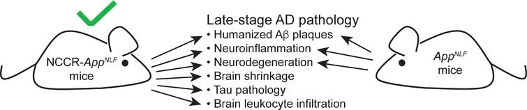 A diagram showing a comparison of late-stage pathological features observed in NCCR-AppNLF and AppNLF mice. Induction of neuronal cell cycle re-entry results in additional AD-related pathological features that are not present in AppNLF mice.