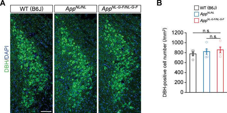 No prominent neuron loss is detected in the LC in 24-month-old AppNL-G-F/NL-G-F mice. A) Representative images of the LC from frozen coronal brain sections immunostained with anti-DBH (indicated by green) were shown (blue indicated DAPI staining). B) Number of DBH-positive cells was measured and expressed as cell number per area (/mm2). Scale bar represents 100μm. n=5/genotype. n.s., not significant.