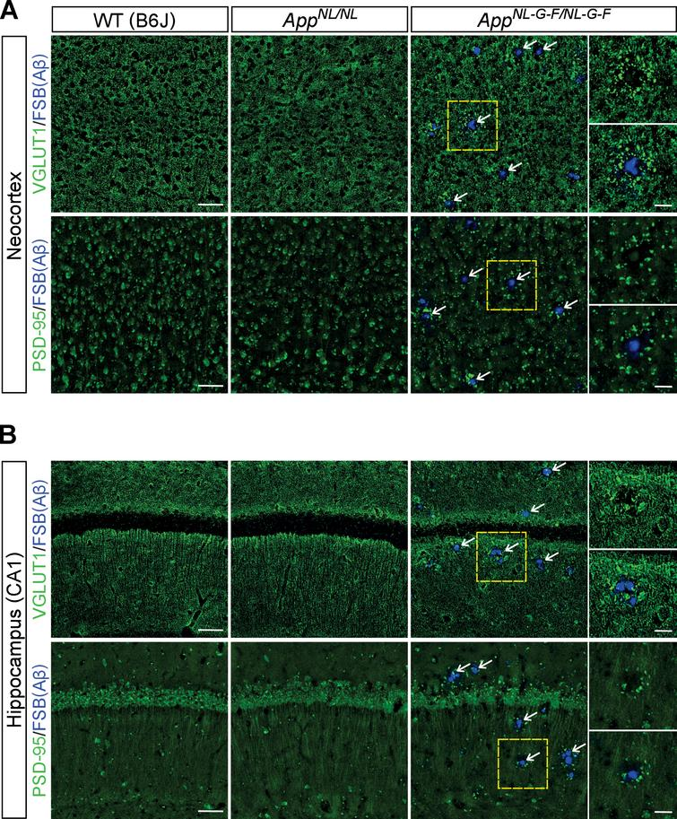 Loss of glutamatergic synapses is associated with the vicinity of Aβ plaques. A, B) Representative images of the neocortex (A) and hippocampal CA1 subfield (B) from frozen coronal brain sections immunostained with anti-VGLUT1 and anti-PSD-95 antibodies (indicated by green in A and B) were shown. FSB was used for detecting Aβ plaques (indicated by blue in A and B). White arrows point to representative examples of Aβ plaque. Insets show higher-magnification views in the corresponding dashed yellow squares. Scale bars represent 50μm. In the inset images, scale bars represent 20μm. n=3/genotype.