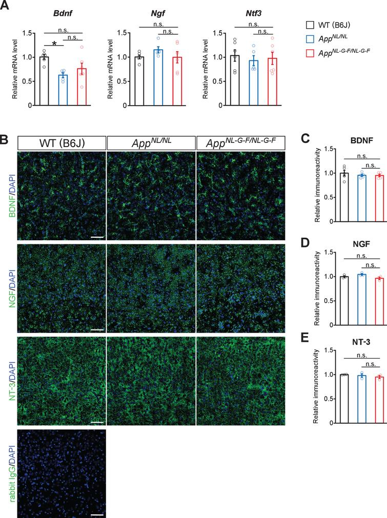 No prominent reduction in neurotrophic factors for noradrenergic neurons are detected in the neocortex. A) mRNA levels of Bdnf, Ngf, and Ntf3 in the cortex were analyzed by qRT-PCR. n=5–6/genotype. *p<0.05 versus WT (B6J). B) Representative images of the neocortex from frozen coronal brain sections immunostained with anti-BDNF, anti-NGF, and anti-NT-3 antibodies (all indicated by green) were shown. Sections stained with secondary anti-rabbit IgG antibody (indicated by green) was served as a negative control (blue indicated DAPI staining). C–E) Immunoreactivity of BDNF (C), NGF (D), and NT-3 (E) were evaluated and expressed as a relative ratio to WT (B6J). Scale bars represents 50μm. n=3–5/genotype. n.s., not significant.