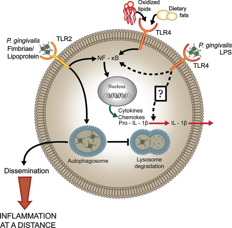 P. gingivalis dysregulates host cell immune activation facilitating systemic inflammation. The host predominantly senses P. gingivalis infection through engagement of TLR2 while the involvement of TLR4-dependent recognition is significantly impaired. Expression of antagonistic or immunologically inert lipid A by P. gingivalis attenuates production of proinflammatory mediators and prevents activation of the inflammasome (potentially through evasion of an unknown sensor) that facilitates intracellular survival. These events allow the pathogen to disseminate and to exacerbate systemic inflammation. In contrast, increased immunostimulatory potential at TLR4, through expression of an agonistic lipid A moiety, results in increased production of proinflammatory mediators, inflammasome activation, and reduced survival of the bacterium in macrophages leading to attenuated systemic inflammation. Reprinted with permission from Slocum C, Coats SR, Hua N, Kramer C, Papadopoulos G, Weinberg EO, Gudino CV, Hamilton JA, Darveau RP, Genco CA (2014) Distinct lipid A moieties contribute to pathogen-induced site-specific vascular inflammation. PLoS Pathog 10, e1004215, under the terms of the Creative Commons Attribution License.