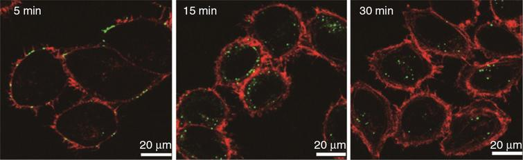 Time course study using labeled P. gingivalis OMVs (lime green circles) in human HOK epithelial cells. All OMVs were found within cells by 30 minutes. Reprinted from Olsen I, Amano A (2015) Outer membrane vesicles – offensive weapons or good Samaritans? J Oral Microbiol 7, 1, with permission by Taylor & Francis Ltd (http://www.tandfonline.com).
