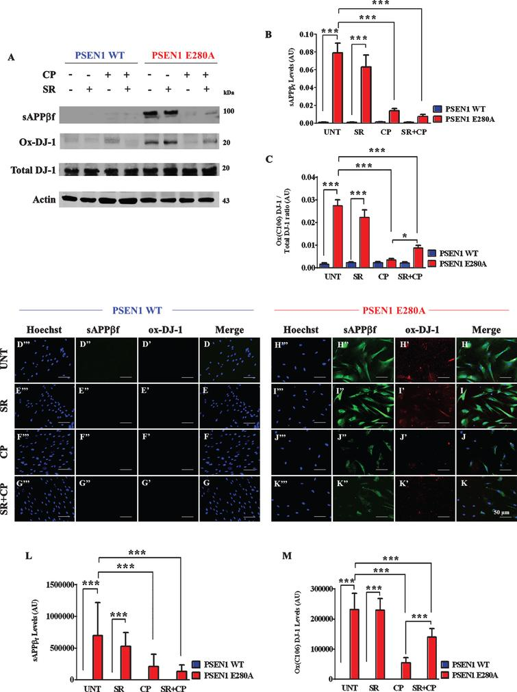 """CP55940 reduced intracellular sAβPPβf and oxidized DJ-1 independent of CB1Rs in PSEN1 E280A ChLNs. After 7 days of transdifferentiation, WT PSEN1 and PSEN1 E280A ChLNs were left untreated or treated with SR, CP, or SR+CP in RCm for 4 days. Further, the proteins in the extracts were blotted with primary antibodies against Aβ42, oxDJ-1Cys106, and actin proteins. The intensities of the western blot bands shown in (A) were measured (B, C) by an infrared imaging system (Odyssey, LI-COR), and the intensity was normalized to that of actin. Additionally, cells were double-stained as indicated in the figure (D-K) with primary antibodies against oxDJ-1Cys106 (red; D'-K') and APP751/ Aβ42 (green; D""""- K""""). The nuclei were stained with Hoechst 33342 (blue; D""""'- K""""'). L) Quantification of Aβ42 fluorescence intensity. M) Quantification of oxDJ-1Cys106 fluorescence intensity. Data are expressed as the mean±SD; *p<0.05; **p<0.01; ***p<0.001. The blots and figures represent 1 out of 3 independent experiments. Image magnification, 200×."""