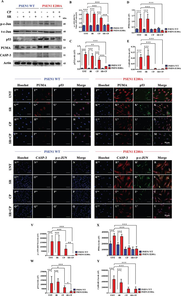 """CP55940 reduced the activation of p53, PUMA, c-Jun, and caspase-3 independent of CB1Rs signaling in PSEN1 E280A ChLNs. After 7 days of transdifferentiation, WT PSEN1 and PSEN1 E280A ChLNs were left Untreated or treated with SR, CP, or SR+CP in regular culture medium for 4 days. After this time, the proteins in the extracts were blotted with primary antibodies against phosphorylated c-Jun (p-c-JUN)/total c-Jun, p53, PUMA, caspase-3 (CASP-3) and actin proteins. The intensities of the western blot bands shown in (A) were measured (B-E) by an infrared imaging system (Odyssey, LI-COR), and the intensity was normalized to that of actin. Additionally, cells were double-stained as indicated in the figure (F-U) with primary antibodies against p53 (green; F'-M'), PUMA (red; F""""-M""""), c-JUN (green; N'-U'), and CASP-3 (red; N""""-U""""). The nuclei were stained with Hoechst 33342 (blue; F""""'-U""""'). V-X) Quantification of c-JUN (V), p53 (W), PUMA (X), and CASP-3 (Y) fluorescence intensity. Data are expressed as the mean±SD; *p<0.05; **p<0.01; ***p<0.001. The blots and figures represent 1 out of 3 independent experiments. Image magnification, 200×."""