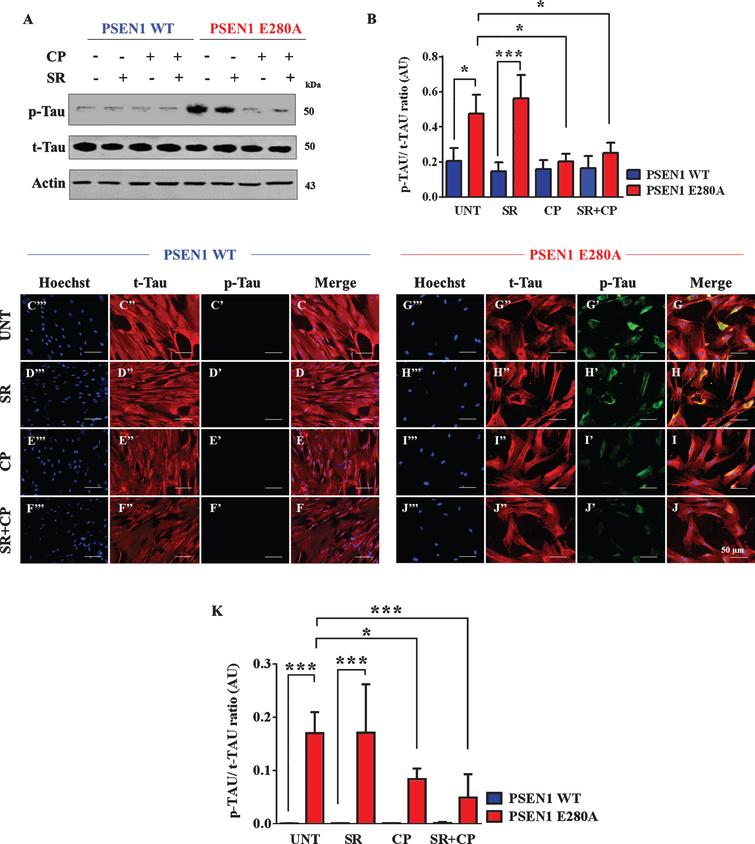 """CP55940 reduced the phosphorylation of tau protein independent of CB1Rs in PSEN1 E280A ChLNs. After 7 days of transdifferentiation, WT PSEN1 and PSEN1 E280A ChLNs were left untreated or treated with SR, CP, or SR+CP in regular culture medium for 4 days. After this time, the proteins in the extracts were blotted with primary antibodies against phosphorylated tau (p-Tau), total tau (t-Tau), and actin proteins. The intensities of the western blot bands shown in (A) were measured (B) by an infrared imaging system (Odyssey, LI-COR), and the p-Tau/t-Tau ratio was normalized to that of actin. Additionally, cells were double-stained as indicated in the figure (C-J) with primary antibodies against p-Tau (green; C'-J') and t-Tau (red; C""""-J""""). The nuclei were stained with Hoechst 33342 (blue; C""""'-J""""'). K) Quantification of the p-Tau/t-Tau fluorescence ratio. Data are expressed as the mean±SD; *p<0.05; **p<0.01; ***p<0.001. The blots and figures represent 1 out of 3 independent experiments. Image magnification, 200×."""