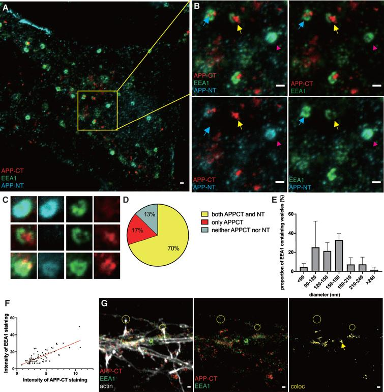 STED images of APP fragments in early endosomes. Immunolabeling and 2- or 3-channel STED microscopy was used to visualize the subcellular localization of APP-CT and/or APP-NT and the early endosome marker EEA1 in hippocampal neurons. 2-channel STED imaging was combined with a third confocal channel to image the actin cytoskeleton (phalloidin staining). Scale bar for all pictures: 500nm. A) 3-channel STED images of APP-CT (red), APP-NT (cyan) and EEA1 (green) in soma. B) Zoomed-in field and separate channels. Yellow arrows point at vesicles containing APP-CT but not APP-NT. Magenta arrows point at vesicles containing APP-NT but not APP-CT. Blue arrows point at vesicles containing both APP-CT and APP-NT. C) 3-channel STED images of zoomed-in early endosomes visualizing EEA1 (green), APP-CT (red) and APP-NT (cyan) showed in merged and separate channels. D) Quantification of APP-CT and/or APP-NT in EEA1-positive early endosomes (n=70). E) Quantification of the size (diameter) of EEA1-positive vesicles. Data were quantified from 5 different batches of hippocampal neurons. All error bars represent mean±sd. F) Quantification of the intensity of EEA1 and APP-CT staining in soma (n=70). G) 2-channel STED images of APP-CT (red) and EEA1 (green) in neurites overlayed with actin shown in a confocal channel. Images show, from left to right, all channels, APP-CT and EEA1, colocalization of APP-CT and EEA1. Lack of colocalization in two synaptic regions are marked by yellow circles. The yellow arrow points out the large EEA1-containing vesicle.