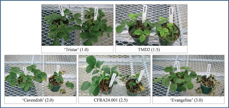 Disease ratings and examples of their respective verticillium wilt phenotypes. Within each panel, a control plant is shown on the left, and an inoculated plant of the same variety is shown on the right along with its disease rating (number in black box).