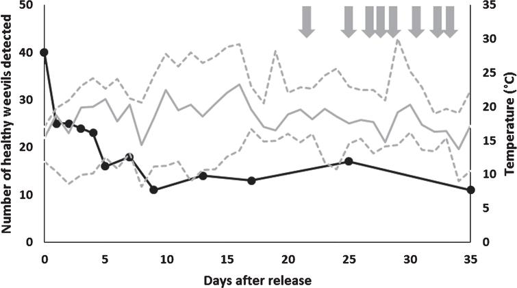 Number of live RFID tagged vine weevils detected under field conditions on each assessment (data collected after the last recorded movement of a tag that was subsequently found to be detached or attached to a dead weevil is excluded). Mean temperature indicated by solid grey line with maximum and minimum temperatures indicated by dotted grey lines above and below this. Grey arrows indicate a rainfall event of over 1mm within 24 hours.