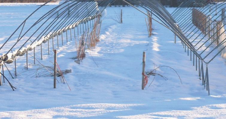 The experimental field in winter with canes in bent plots covered with snow and canes in control plots in upright orientation.