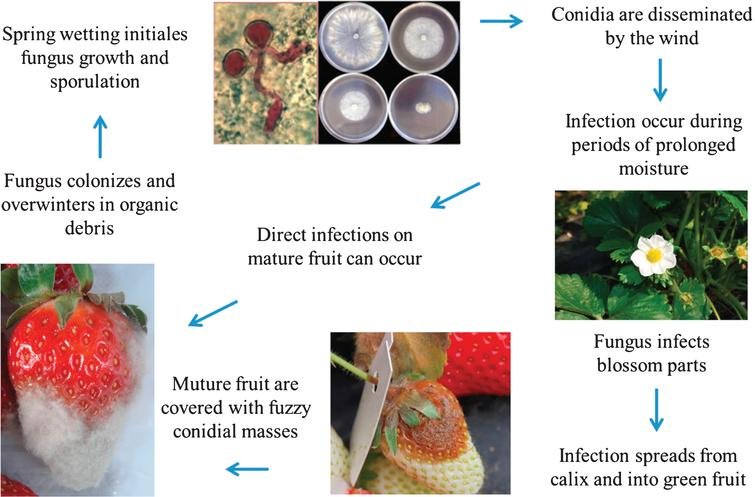 Disease cycle of gray mold on strawberry. Modified from Maas et al. (1998) [14].