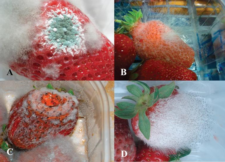 Postharvest strawberry fruit decay caused by the fungi Penicillium spp. (circular blue and white molds) and Botrytis cinerea (fluffy gray mold) (A), Rhizopus stolonifer (B), Colletotrichum spp. (C), and Mucor spp. (D).