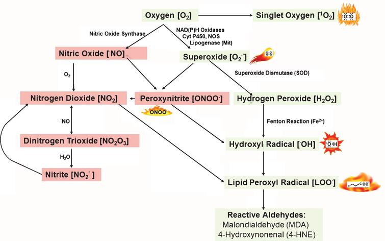 Reactive oxygen and nitrogen species: Generation and their reactions. Adapted from Kalyanaraman, 2013 [28] and Yan et al. [38].