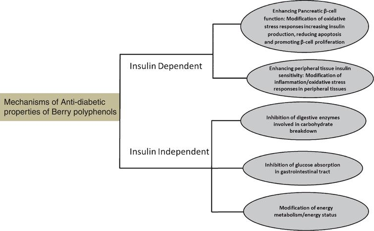 Berry polyphenols exert anti-diabetic effects by several interrelated mechanisms through insulin dependent and insulin independent mechanism.