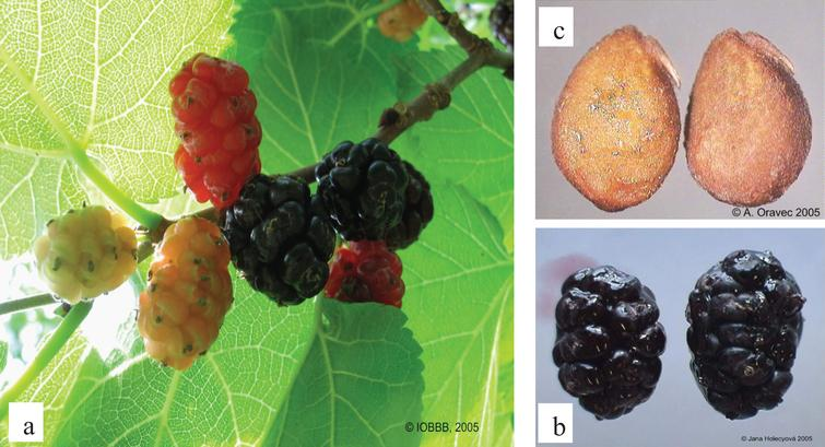 The gradual ripening of the fruit (a), the shape of fruit (b), and seeds (c) of black mulberry (Morus nigra L.). Photo J. Holecyova and A. Oravec.