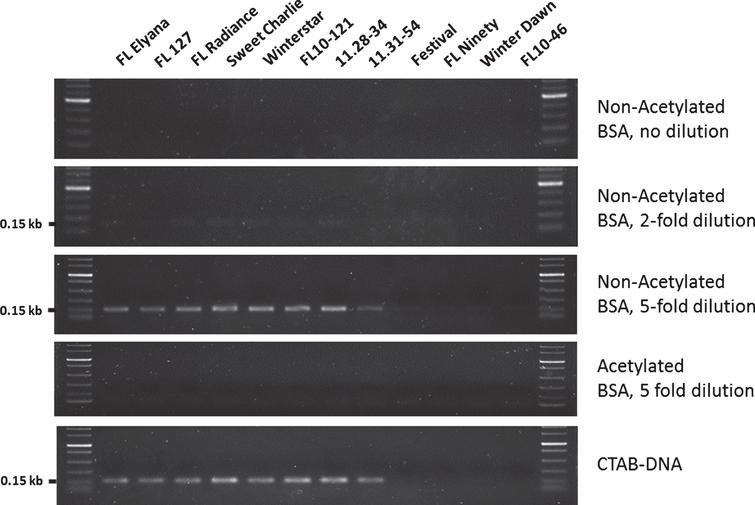PCR amplification of FaFAD1 directly from strawberry leaf tissue. The eight cultivars and four advanced selections of strawberry (Fragaria×ananassa) were used in this study. Florida Elyana: FL Elyana, Sweet Sensation® 'Florida 127': FL 127, Florida Radiance: FL Radiance, Sweet Charlie, Winterstar™ 'FL 05-107': Winterstar, Strawberry Festival: Festival, Florida Ninety: FL Ninety, Winter Dawn, FL10-121, 11.28-34, 11.31-54 and FL10-46. Strawberry seedlings were grown in a greenhouse located at the UF/IFAS Gulf Coast Research and Education Center. CTAB-DNA samples were prepared as previously described [24]. Crude DNA extractions from leaf tissues followed a well-described NaOH-based method [14]. An amplified fragment of expected size (∼150 bp) was observed in eight accessions producing γ-decalactone for CTAB-DNA and for crude extractions after 5-fold dilution. Weak amplifications of FaFAD1 were found in all γ-decalactone producing accessions after 2-fold dilution. Acetylated or non-acetylated BSA was added to the PCR reactions using crude extracts. All experiments were repeated at least three times, and PCR amplicons were confirmed by gel electrophoresis at 230V for 70min using 1.5% agarose gels.