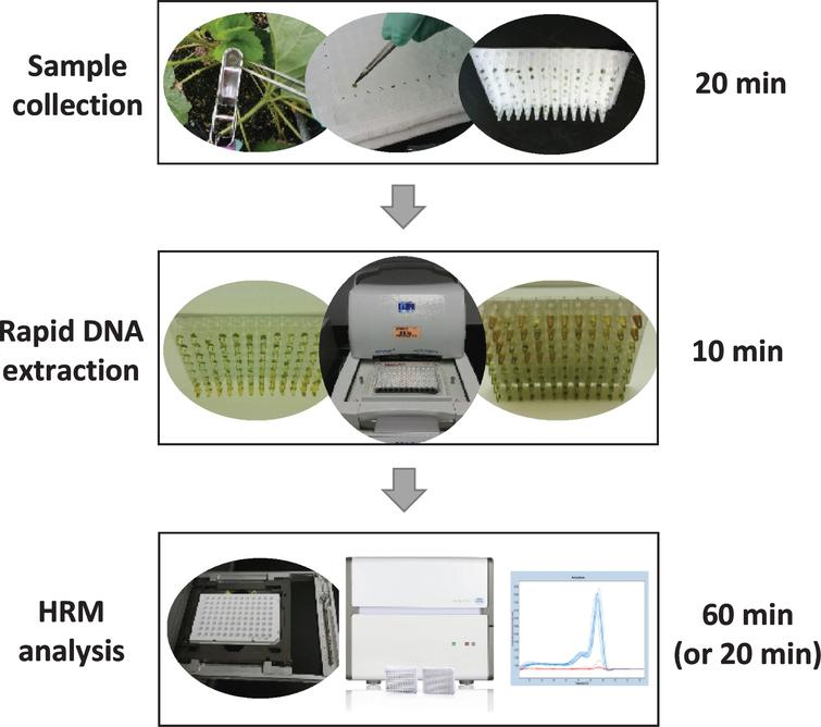 Summary schematic of a high-throughput genotyping system developed for strawberry and other Rosaceae crop breeding programs. Instead of using four leaf discs, we only collected one leaf disc (3mm) in each well of a 96-well PCR plate and incubated 10min with the extraction buffer in a PCR thermocycler. The crude DNA sample is diluted (2-fold for a single disc, or at least 5-fold when four leaf discs were used) with dilution buffer, and directly used for PCR amplification and HRM analysis using a LightCycler 480 system II. The total procedure, for either 96 or 384 format, can be completed in 2 to 3 hours. The procedure for the HRM scan of a 384-well plate (without PCR amplification) can be done in 20min.