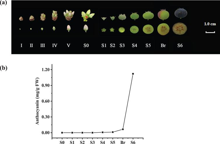 Developmental stages and anthocyanin contents of V. corymbosum (cv. O'Neal) flowers and fruits. a. The flower and berry developmental stages used in this study. b. The total anthocyanin content in the ovaries and fruits throughout development.