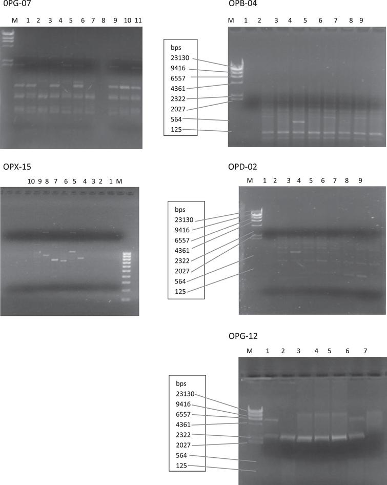 Agarose gels showing polymorphic primers (OPX-15, OPB-04, 0PG-07, OPG-12 and OPD-02).