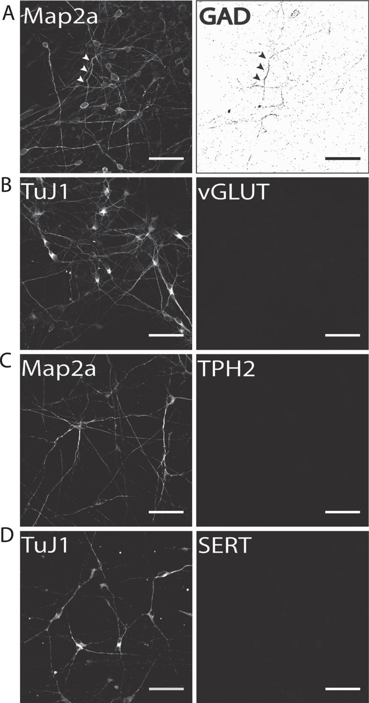 Identification of potential subpopulations in hiPS cell-derived neuronal cultures. Exemplary images of terminally differentiated hiPS cell-derived neurons are shown (d50). (A) GAD1 as GABA-ergic marker, (B) vGLUT1 as a glutamatergic marker, and (C) TPH2 and (D) SERT as marker proteins for serotonergic subpopulations. Except for GAD1, no cells were positively stained for any of the other tested markers, indicating a predominantly DA neurons phenotype for neurons generated with our protocol. Scale bar: 50μm.