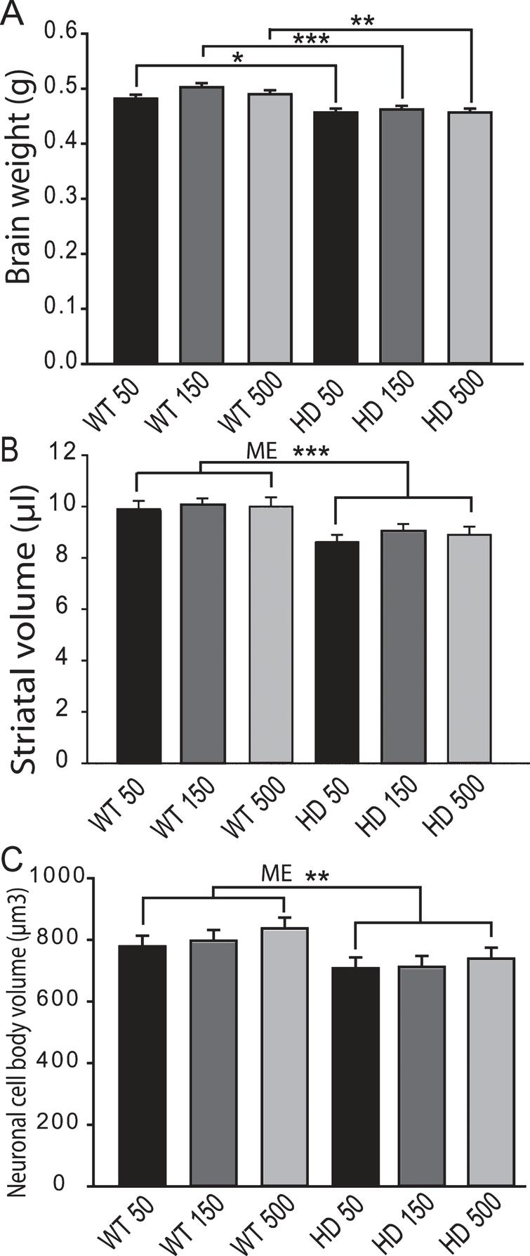 Adult iron supplementation does not exacerbate neurodegeneration markers in YAC128 HD mice. Mice were maintained on diets from 2–12 months of age. A. Brain weights of YAC128 HD and wild-type mice fed one of three custom iron diets. YAC128 mice have significantly decreased brain weights compared to wild-type litter-mates. Iron supplementation has no effect on brain weight in HD or wild-type mice. n=12–15, B. Striatal volumes are decreased by HD but not by dietary iron level. There was a significant effect of genotype with YAC128 HD mice having lower striatal volumes across all iron groups, n=4–6, C. Striatal cell body volumes are not altered by dietary iron intake level in YAC128 HD or wild-type mice. There was a significant effect of genotype with YAC128 HD mice having lower cell volumes across all iron groups. ME=main effect comparison. P-values: *p<0.05, **p<0.01, ***p<0.001, n=4–6.