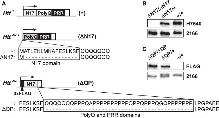 Htt N-terminal  domain deletions. (A) Illustration of Htt exon 1 for wild type Htt+ (+), HttΔN17 (ΔN17), and HttΔQP (ΔQP)  alleles. The N17 domain, polyQ stretch, and the mouse PRR are indicated. In the HttΔN17 allele, the first methionine was retained, while amino acids 2-17 were  deleted. (B) Htt+/+ (+/+), HttΔN17/+ (ΔN17/+), and HttΔN17/ΔN17 (ΔN17/ΔN17) whole brain lysates  probed with H7540 and MAB2166 antibodies. The N17-specific H7540 antibody detects wild type Htt in the+/+and ΔN17/+lane, but does not detect ΔN17-Htt in the ΔN17/ΔN17 lane, as expected. (C) Htt+/+ (+/+), HttΔQP/+ (ΔQP/+), and HttΔQP/ΔQP (ΔQP/ΔQP) lysates probed with FLAGM2  and MAB2166 antibodies. FLAGM2 antibody detects the N-terminal 3xFLAG epitope tag of ΔQP-Htt in the ΔQP/+and ΔQP/ΔQP lanes. MAB2166 detects wild type Htt, ΔQP-Htt and ΔN17-Htt.  Note that ΔQP-Htt migrates slightly faster on SDS-PAGE resulting in an Htt doublet in the ΔQP/+lane.