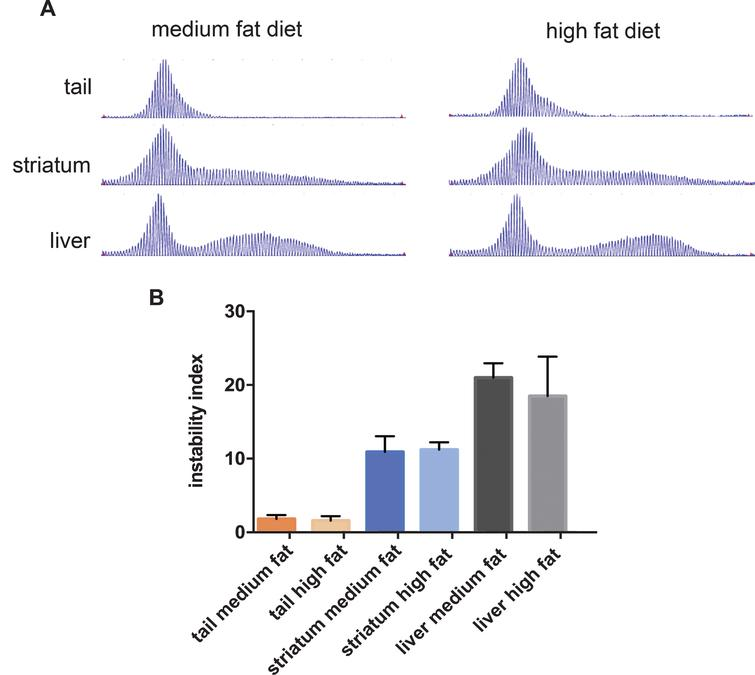 The effect of diet on CAG instability in tissues from HttQ111 mice. A. Representative GeneMapper traces of HttQ111 CAG repeats from tail, striatum and liver of an HttQ111/+ mouse on a medium fat or high fat diet at 10 months of age. B. Instability indices were calculated from the GeneMapper traces from tissues of 5 medium fat-fed HttQ111/+ mice (CAGs: 127, 127, 129, 131, 133) and 4 high fat-fed HttQ111/+ mice (CAGs: 129, 129, 130, 132). Bars represent mean+/-SD.