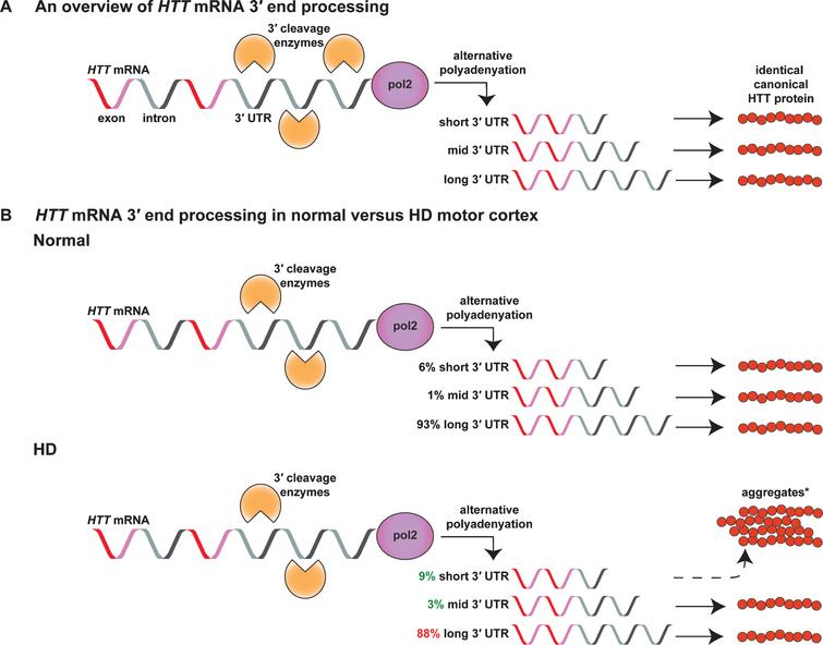 HTT mRNA is processed into several alternatively polyadenylated isoforms that change their abundance in HD versus normal human motor cortex. A) The HTT gene is transcribed into mRNA by RNA polymerase 2 (pol2). During transcription, nascent HTT mRNA can be alternatively cleaved and polyadenylated at three putative polyA sites in its 3′UTR producing a 10.3kb (short), 12.5kb (mid), or 13.7kb (long) transcript [22, 23]. These alternatively polyadenylated isoforms are translated into the canonical HTT protein. B) In HD patient motor cortex, the amount of the short and mid 3′UTR isoforms increases relative to the long isoform [23]. *The short 3′UTR isoform forms more aggregates than the long isoform in vitro [30], suggesting altered isoform abundance may have an impact on the formation of abnormal protein-protein interactions.