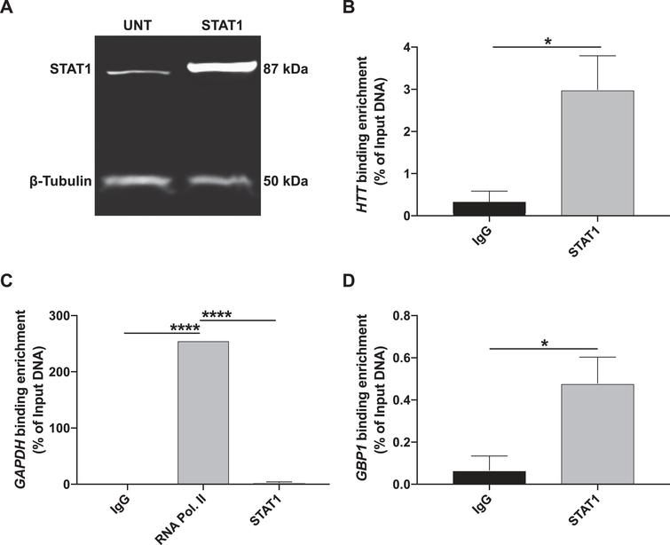 STAT1 binding is enriched at the predicted region 9 site at the HTT gene locus. (A) HEK293 cells were transfected with STAT1α pRC/CMV and collected for chromatin immunoprecipitation following 72h of treatment. Transfected cells overexpressed STAT1 compared to untransfected cells, as analyzed using Western blot. β-Tubulin is shown as the loading control. (B) ChIP-qPCR of STAT1 binding to the predicted HTT region 9 site calculated using percent of input genomic DNA. Antibodies are indicated on the X-axis. For each treatment, n=3. Student's t-test, p<0.05 (mean±SEM). (C) ChIP-qPCR of RNA polymerase II binding to GAPDH is shown as a positive control for ChIP and calculated using percent of input genomic DNA. Antibodies are indicated on the X-axis. Immunoprecipitation treatments with anti-IgG (mouse) and anti-STAT1 are shown as negative controls. For anti-IgG and anti-STAT1, n=3. For anti-RNA polymerase II, n=1. One-way ANOVA with Tukey post test, ****p<0.0001 (mean±SEM). (D) ChIP-qPCR of STAT1 binding to a previously identified GBP1 site is shown as a positive control and calculated using percent of input genomic DNA. Antibodies are indicated on the X-axis. For each treatment, n=3. Student's t-test, p<0.05 (mean±SEM).