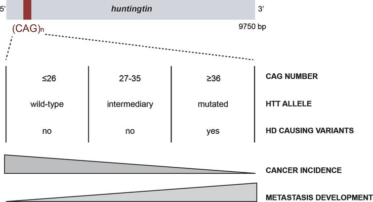 The CAG polymorphism in HTT is associated with Huntington disease and cancer risk and evolution.