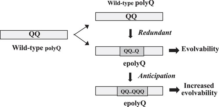 Acquisition of evolvability as a novel function by polyQ expansion. Elongation of polyQ may occur through slippage presumably due to unstable DNA during gene replication. Since the polyQ proteins are composed of mixed populations of epolyQ with elongated stretches of polyQ and wild-type polyQ of normal-length, wild-type polyQ could be functionally redundant. The length of epolyQ may further be elongated by anticipation, resulting in the increased evolvability.