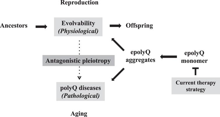 Antagonistic pleiotropy of polyQ-related pathophysiology Evolvability is proposed to be a physiological phenomenon during reproduction, whereas the polyQ diseases, such as HD and spinocerebellar ataxias, manifest as pathological phenomena during the post-reproductive senescent period. Both are derived from the soluble epolyQ protofibrils and participate in an antagonistic pleiotropic relationship as illustrated. Current therapy strategy targets the dose-reduction of soluble epolyQ.