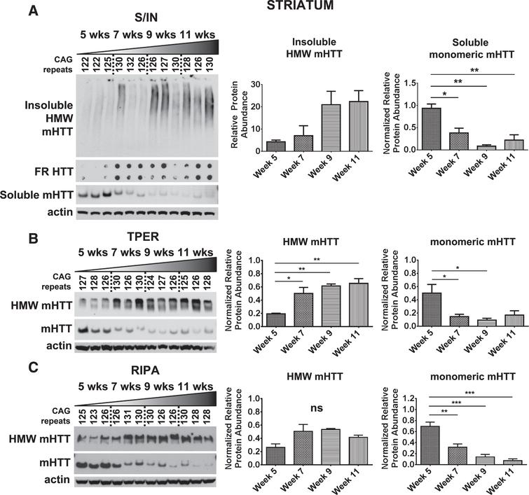 Detection of mHTTex1p in striatum of R6/2 mice. A) Striatal time-course samples were fractionated into Soluble and Insoluble proteins. Insoluble fraction reveals an increase in a HMW species of mHTTex1p throughout disease progression (F3,8=4.274, p<0.05). Soluble fraction shows an inverse, significantly decreased monomeric form of mHTTex1p throughout disease progression (F3,8=15.51, p<0.01). Insoluble aggregates detected by filter retardation (FR) assay may show a slight increase throughout disease progression‡. Striatal tissue samples broken in B) T-PER (Monomer: F3,8=5.85, p<0.05, HMW: F3,8=12.12, p<0.01) and C) RIPA (Monomer: F3,8=25.44, p<0.001, HMW: F3,8=4.06, p>0.05) reagents show a significant reduction of monomeric mHTex1pT throughout disease progression. Fluctuations in soluble, monomeric mHTTex1p correspond to varying CAG repeats in R6/2 mice. Western blots quantified by mean pixel value. Soluble fraction normalized to actin and analyzed by 1-way ANOVA followed by Tukey's multiple comparison test. *p<0.05, **p<0.01, values represent means±SEM. n=3 for all time points. HTT antibody MAB5492 used to detect mHTTex1p. Panel (A) has been modified with permission [42]. ‡Reprinted from Grima et al., 2017 [42] with permission from Elsevier.