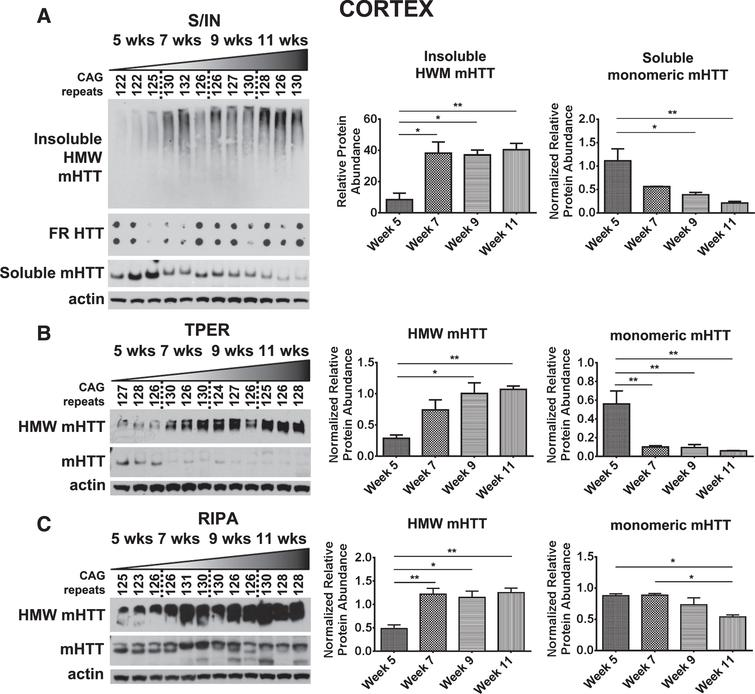 Detection of mHTTex1p in cortex of R6/2 mice. A) Cortical time-course samples were fractionated into Soluble and Insoluble proteins. Insoluble fraction reveals a significant increase in a HMW species of mHTT throughout disease progression (F3,8=9.88, p<0.01). Soluble fraction shows an inverse, significantly decreased monomeric form of mHTTex1p throughout disease progression (F3,8=8.78, p<0.01). Insoluble aggregates detected by filter retardation assay show no apparent change. Cortical tissue samples broken in B) T-PER (Monomer: F3,8=10.91, p<0.01, HMW: F3,8=8.42, p<0.01) and C) RIPA (Monomer: F3,8=7.21, p<0.05, HMW: F3,8=10.85, p<0.01) reagents show a significant reduction of monomeric mHTTex1p throughout disease progression accompanied by a significant increase in HMW mHTTex1p detected in the soluble fraction. Fluctuations in soluble, monomeric mHTTex1p correspond to varying CAG repeats in R6/2 mice. Western blots quantified by mean pixel value. Soluble fraction normalized to actin and analyzed by 1-way ANOVA followed by Tukey's multiple comparison test. *p<0.05, **p<0.01, values represent means±SEM. n=3 for all time points. HTT antibody MAB5492 used to detect mHTTex1p.